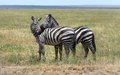 A zebra couple in love burchell s equus quagga burchellii and making out the ngorongoro crater of tanzania Royalty Free Stock Photo