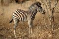 Zebra Cub Royalty Free Stock Image
