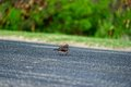 Zebra dove crossing the road in hawaii island Stock Photos