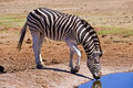 Zebra Drinking Stock Images