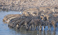 Zebra drinking africa namibia etosha national park at a waterhole Royalty Free Stock Photography