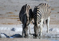 Zebra drinking at a desert waterhole two burchells equus quagga burchellii set against blurred salt background in etosha Royalty Free Stock Image