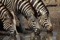 Zebra drinking  in Kruger National Park Stock Image