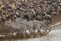 Zebra drinking water along the mara river and wildebeest gathering on banks of Royalty Free Stock Photography