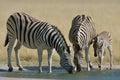 Zebra drinking at waterhole in Etosha National Park, Namibia Royalty Free Stock Photo