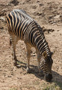 Zebra Eating Stock Image