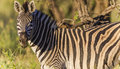Zebra Eating Alert Wildlife Stock Photo