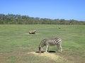 Zebra Eating Grass In Open Ran...