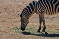 Zebra eating grass wild animal at the zoo Stock Photo