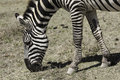 Zebra a eating in a national park Stock Photography