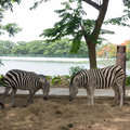 Zebra is eating straw in park Royalty Free Stock Images
