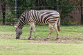 Zebra eatting grass on floor Stock Photos