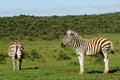 Zebra equus burchelli african game park two young in addo elephant national in south africa Stock Photography