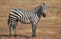 Zebra equus burchelli in the african savanna Royalty Free Stock Images