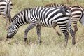 Zebra equus burchelli burchellii is eating in the african savanna Royalty Free Stock Photos