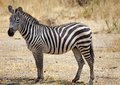Zebra equus burchelli zebras in the african savanna Stock Photo