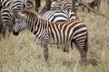 Zebra equus burchellii in the african savanna Stock Photography