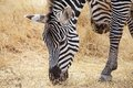 Zebra equus burchellii is eating in the african savanna Stock Image