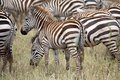Zebra equus burchellii young zebras in the african savanna Stock Photos