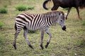 Zebra equus burchellii young zebras is walking in the african savanna Royalty Free Stock Photography