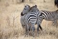 Zebra equus burchellii zebras in the african savanna Stock Image