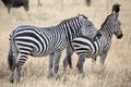 Zebra equus burchellii zebras in the african savanna Royalty Free Stock Photo