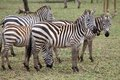 Zebra equus burchellii zebras in the african savanna Royalty Free Stock Images