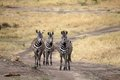 Zebra equus burchellii zebras along the road in the african savanna Royalty Free Stock Images