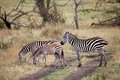 Zebra equus burchellii zebras along the road in the african savanna Royalty Free Stock Photo