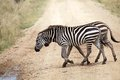 Zebra equus burchellii zebras are crossing the road in the african savanna Royalty Free Stock Images