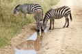 Zebra equus burchellii zebras are drinking along the road in the african savanna Royalty Free Stock Image