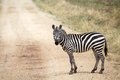 Zebra equus burchellii zebras on the road in the african savanna Stock Photography