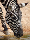 Zebra (Equus Quagga) Stock Photos