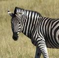 Zebra (Equus quagga) - Khwai River - Botswana Royalty Free Stock Photo