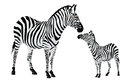 Zebra or Equus zebra, illustration Stock Photography