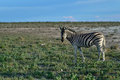 Zebra in Etosha, Namibia Royalty Free Stock Photo