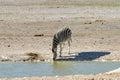 Zebra etosha namibia at a watering hole in national park Royalty Free Stock Image