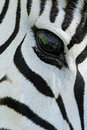 Zebra eye Royalty Free Stock Photo
