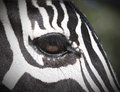 Zebra eye close up of a s Stock Images