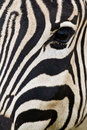 Zebra eye and interesting patterns leading towards its nose Royalty Free Stock Image
