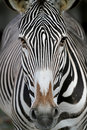 Zebra face Royalty Free Stock Images