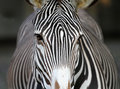 Zebra face Stock Photos