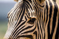 Zebra face close up of patterns Stock Images