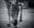 Zebra face closeup on the field Royalty Free Stock Photo