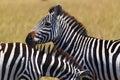 Zebra face safari kenya a very expressive in Royalty Free Stock Images