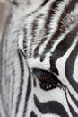 Zebra face to face Royalty Free Stock Images
