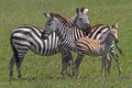 Zebra family plains equus quagga huddled together in the mid day heat of serengeti national park tanzania africa Stock Images