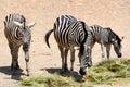 Zebra family the safari park striped on vacation nature with wild animals wildlife Royalty Free Stock Photo
