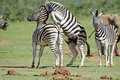 Zebra Fighting Royalty Free Stock Image