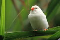 Zebra finch Royalty Free Stock Photography